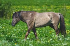 Konik Stallion (Nix Alba) Tags: horses ponies equines wildhorses dun meadows parks restoration preservation stallion mare foal