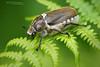 Anoxia villosa (Matthieu Berroneau) Tags: sony 90 macro 28 insecte insect coléoptère alpha invertebrate invertébré invertebrado wildlife animal animaux sonya7ii sonya7mk2 sonyalpha7mark2 sonyalpha7ii a7ii 7ii 7mk2 sonyilce7m2 aquitaine régionaquitaine fe f28 g oss fe90f28macrogoss sonyfesonyfe2890macrogoss objectifsony90mmf28macrofe sel90m28g hanneton commun hannetoncommun melolontha melolonthamelolontha common cockchafer commoncockchafer exposition favorite best anoxia villosa anoxiavillosa