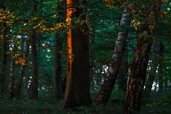 A last ray of light (Petra Runge) Tags: wald baum licht natur sonnenuntergang forest wood tree light nature sunset germany deutschland