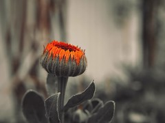 Flowers in Orange (Jon-Fū, the写真machine) Tags: touchedup outdoors 野外 nature 自然 plant plants 植物 flora flower flowers 花 華 jonfu 2017 olympus omd em5markii em5ii em5mkii em5mk2 em5mark2 オリンパス mirrorless mirrorlesscamera microfourthirds micro43 m43 mft μft マイクロフォーサーズ ミラーレスカメラ snapseed japan 日本 nihon nippon ジャパン ジパング japón जापान japão xapón asia アジア asian orient oriental aichi 愛知 愛知県 chubu chuubu 中部 中部地方