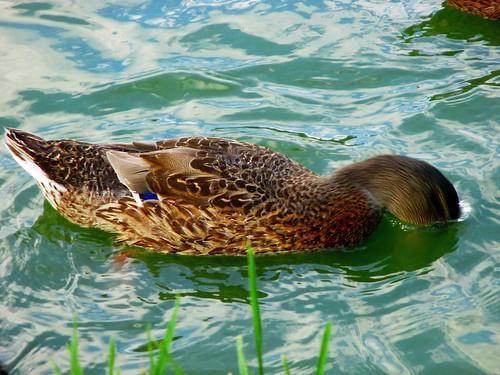 Kachna divoká s hlavou ve vodě