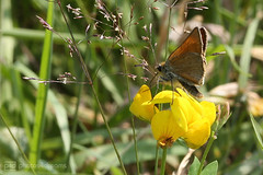 moths love yellow (photos4dreams) Tags: gersprenz21062017p4d gersprenz münster hessen germany naturschutz nabu naturschutzgebiet photos4dreams p4d photos4dreamz nature river bach flus naherholung motte moth