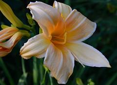 Peach Pastel (BKHagar *Kim*) Tags: bkhagar flower flowers bloom blossom lily lilies yard momdads tanner al alabama