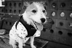 One Hot Summer Day (moaan) Tags: kobe hyogo japan jp dog jackrussellterrier kinoko portrait dogportrait summer hot sultry walk morningwalk rest bw blackandwhitephotography leicax2