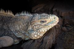 Prehistoric Giant (helenehoffman) Tags: cubaniguana sandiegozoo lizard conservationstatusvulnerable cubanrockiguana cycluranubila cubangroundiguana animal coth reptile sunrays5 coth5