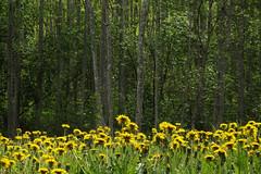 Võililled ja mets (Jaan Keinaste) Tags: olympussh1 eesti estonia loodus nature võilill mets forest dandelion taraxacum kevad spring