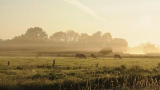 Morgens beim Viehzählen; Bergenhusen, Stapelholm (22)