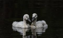 two sleepy cygnets (kallo39) Tags: swan cygnets sleepy