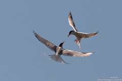 Sternes Pierregarin (gilbert.calatayud) Tags: charadriiformes commontern laridés sternahirundo sternepierregarin bird oiseau ile de ré