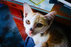 warm welcome (edwardpalmquist) Tags: portrait city street eyes nature travel cat urban animal cute asia pet vietnam kitten outdoors mammal hoi an