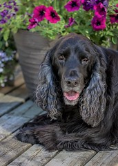 25/52 - Sammy 2017 (conniegavin12) Tags: 52weeksfordogs fieldspaniel flowers spaniel dog pet