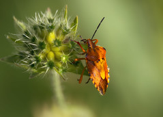 Colourful pest (FocusPocus Photography) Tags: wanze fruchtwanze shieldbug käfer bug pest schädling carpocoris purpureipennis insekt insect