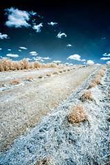 Dogwood heaven (citrusjig) Tags: pentax kx sigma1020mmf456 bw090redfilter infrared irconverted fullspectrum wisconsin fauxcolor farmland