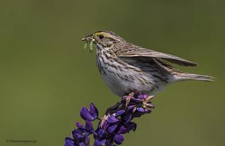 Savannah Sparrow | Bruant des prés