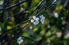 close friends (bonzerg) Tags: nikon d5100 nature domestic flowers flower photo petals prunus cerasus white spring bokeh helios helios442