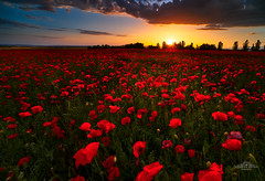 Amapolas y nubes (Poppies & Clouds) (ric.gayan) Tags:
