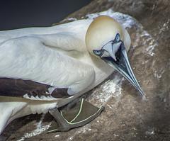 Angry Gannet (dosmc102) Tags: gannet bird wildlife nature white angry blue saltee island rock