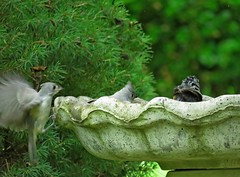 Fledgling Titmouses using the bird bath, Mom brought her family in for a cleansing!! (Photos by the Swamper) Tags: birds tuftedtitmouse
