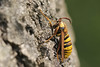 Hoornaarvlinder - Sesia apiformis - Hornet Moth (merijnloeve) Tags: hoornaarvlinder sesia apiformis hornet mothterrein bakkum nh noordhollands duinreservaat castricum gemeente macro wood dunes duinen noordholland holland butterfly nachtvlinder vlinder bug nature