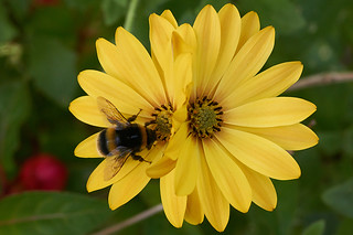 Twin Osteospermum with bumble bee