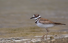 Killdeer (Anne Marie Fraser) Tags: bird beach killdeer nature wildlife