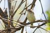 _53F8293 Philadelphia Vireo (~ Michaela Sagatova ~) Tags: philadelphiavireo birdphotography canonphotography michaelasagatova vireo