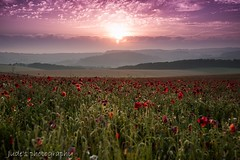 Solstice and Poppies (judethedude73) Tags: flower flowers red beautiful sun nature fields sussex summer photography landscape poppies