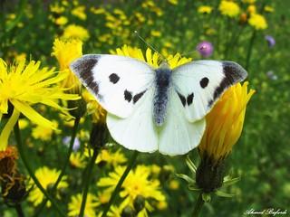 Butterfly 1326