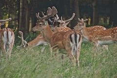 Phoenix Park Deer (Colin Kavanagh) Tags: deer wildlife ireland dublin visitdublin visitireland antlers phoenixpark grassland park parkland urbanwildlife herd grass trees animals wild ngc