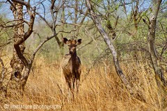 Black Deer, Zone 4, Ranthambhore National Park, India (Immature Photography LLP) Tags: forest junglesafari animal india nationalpark ranthambhore wildlife blackdeer