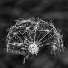 IMG_2090 (Psin1) Tags: dandelion black white