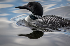 2X1A7330 (will Joudrey) Tags: common loon westhawklake manitoba wild nature