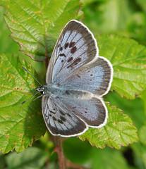 Large Blue butterfly, Somerset, June 2017 (roger.w800) Tags: butterfly britain largeblue somerset butterflyconservation uk gb british britishbutterfly fauna rarebutterflyblue schmetterling mariposa farfalla