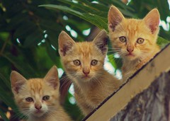 Stray kittens (suzeesusie) Tags: kittens three cats babies animals stray feraloutdoors faces kitties young furry