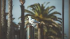 Little stiff (mavrussell) Tags: animal bird canon beach outside nature seagull lightroom