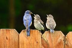 Happy Fence Friday (deanrr) Tags: easternbluebird bluebird blue fence happyfencefriday morgancountyalabama alabama nature outdoor babybirds