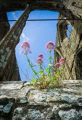 Flowers (Matt Bigwood) Tags: tintern abbey wales sony a6000 16mm ruin monastery