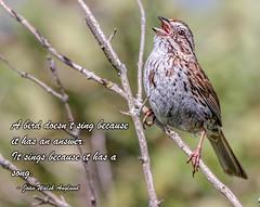 Just Because (Wes Iversen) Tags: michigan saginaw shiawasseenationalwildliferefuge tamron150600mm birds branches nature singing sparrows text wildlife melospizamelodia songsparrows