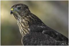cooper's hawk fledgling (Christian Hunold) Tags: coopershawk accipitercooperii raptor birdofprey bird bokeh urbanhawk rundschwanzsperber tucson sonorandesert arizona christianhunold