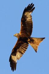 Soaring Kite (Treflyn) Tags: soaring evening sun underside red kite soars over back garden search food earley reading berkshire uk