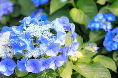 紫陽花 (湯小米) Tags: canon 1dx ef100mmf28marco 繡球花 陽明山 flower 花 花卉 微距 微距鏡 微距攝影
