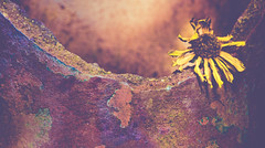 Macro  Mondays, June 26, 2017: Broken (shreya59) Tags: macromondays broken daisy yellow terracotta texture nikon d750 sigma macro