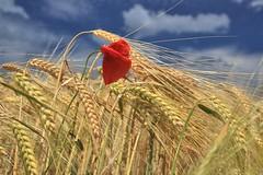 Poppy in wheat field (Bayerwaldteam) Tags: blume flower poppy summer sommer sonnen sun himmelblau sky blue wolken clouds wheat field weizenfeld