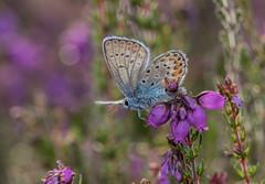 Faded Beauty (steb1) Tags: silverstuddedblue plebejusargus lycaenidae butterfly lepidoptera insect macro preesheathcommon