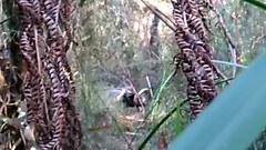 Belgrave Lyrebird Songs (C8B242CD-4C47-41F3-B866-A290CC96DDC1) (pamelasuttonlegaud) Tags: lyrebird dandenong ranges australia belgrave victoria lyrebirds singing
