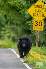 Black Bear (fascinationwildlife) Tags: animal mammal bär black bear wild wildlife nature natur bc kanada canada morning spring forest schwarzbär predator road british columbia