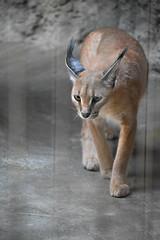 eriezoogrp2DSC_0095 (lwolfartist) Tags: caracal cat feline mammal animal nature photo