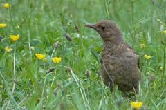 Merle noir - Common Blackbird (Turdus merula) - Villenave d'Ornon - Parc Sourreil (Gironde) France, 3 mai 2014 (Loïc Le Comte) Tags: merlenoir commonblackbird turdusmerula villenavedornon sonydschx100v