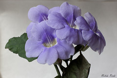 Thumbergia Glandiflora (NELIDA RICHI FOTOGRAFIA) Tags: 60d canon eos 1855mm lilas thunbergia glandiflora flower fiori garden jardin naturaleza nature natureza primavera