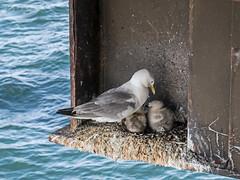 Nesting Kittiwakes on a Gas Platform (Craig Hannah) Tags: kittiwake bird wildlife nature offshore industrial morecambebay platform gas rig craighannah july 2017 england uk gull seagull young nest nesting natureandindustry